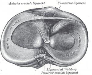 """Gray349"" von Henry Vandyke Carter - Henry Gray (1918) Anatomy of the Human Body (Wikipedia)"